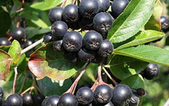 Beneficiile Aronia