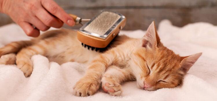 Ai o pisica birmaneza nu te descurci sa o ingrijesti? Gasesti solutia la frizerie pisici!